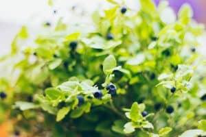 blueberry-edited